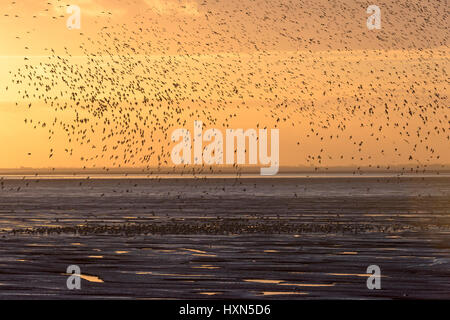 Flock of red knot (Calidris canutus) landing on foreshore in pre-roost gathering, at Snetttisham RSPB reserve, Norfolk, - Stock Image