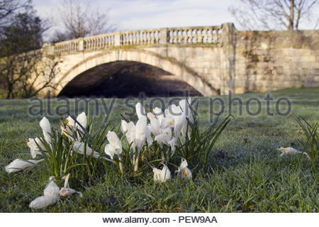 Stone bridge over a river with some Crocuses in the foreground. - Stock Image
