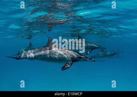 A common dolphin near to the surface, Egypt (Delphinus delphis) - Stock Image