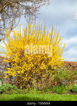 Yellow Forsythia bush in full bloom in the springtime in an English country garden - Stock Image