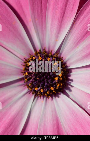 Detail of a pink dimorphotheca flower. - Stock Image
