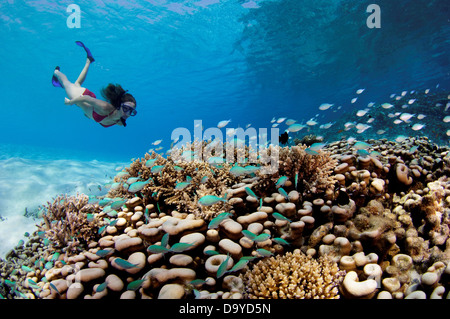 Underwater view female tourist looking large colony Porites hard coral with school Green pullers Chromis viridis - Stock Image