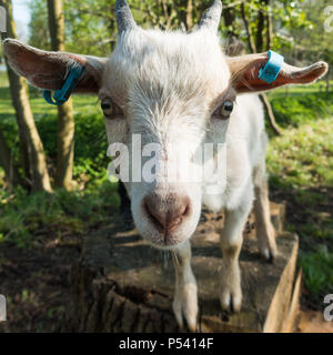 Close up face of African pygmy goat wearing ear tags standing on a wooden stump - Stock Image