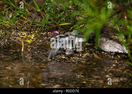 A Western Diamondback rattlesnake (Crotalus atrox) swallows a Morning Dove (Zenaida macroura) during a monsoon rainstorm. (Arizona) - Stock Image