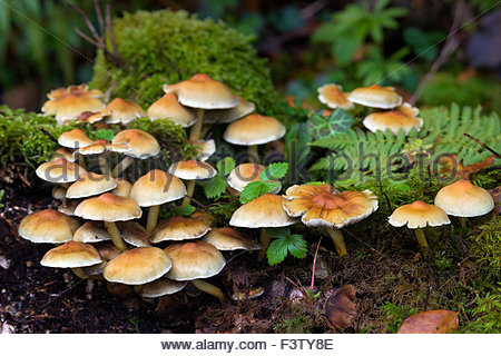 Mushrooms in forest in autumn (fall) - Stock Image