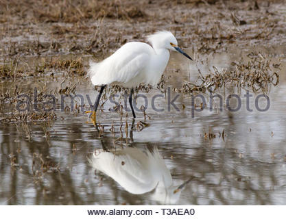 Snowy Egret, Egretta thula, walking in shallow pond with reflection in Arizona USA - Stock Image