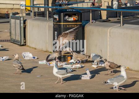 Seagulls,Fighting,Scavenging,Seafront,Litter Bin,Herring Gulls, - Stock Image