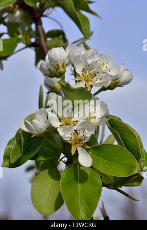 Blossoms on pear tree (Pyrus communis), common pear - Stock Image