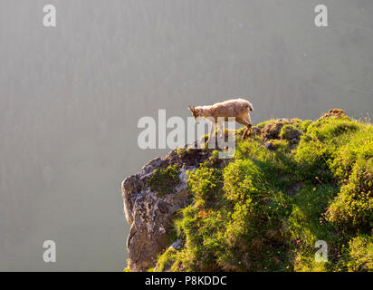 Evening ibex - Stock Image