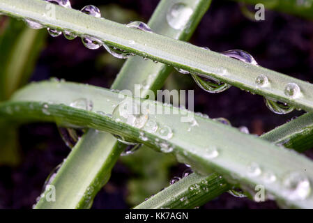 Closeup Macro water droplets on green leaves of a fresh green garden plant - Stock Image