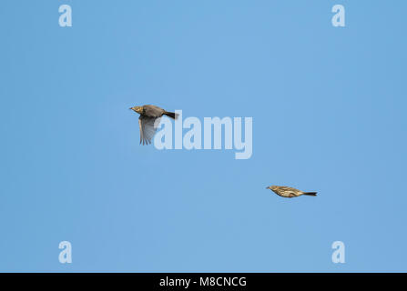 Tree Pipit (Anthus trivialis). A clone of 2 pictures of the same bird. - Stock Image