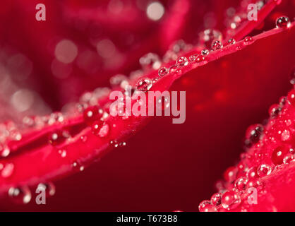 Dew drops on rose petal macro view. Elegance floral romantic background for Valentines or birthday - Stock Image