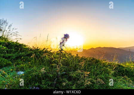 Sunrise landscape high in the mountain with flower in front - Stock Image