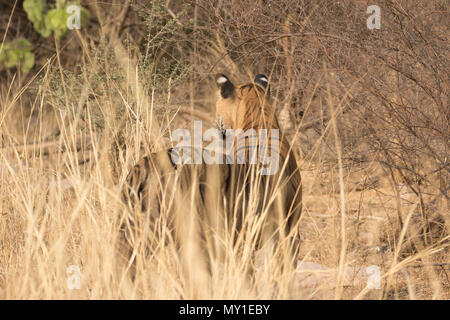 Indian tiger in jungle - Stock Image