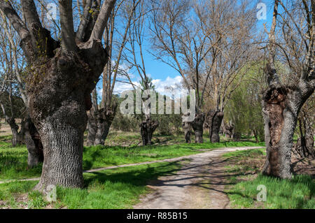 Ash grove next to the river Manzanares, in El Pardo, Madrid, Spain. - Stock Image