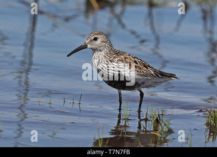 Dunlin (Calidris alpina) adult standing in shallow water  Eccles-on-Sea, Norfolk, UK                  May - Stock Image