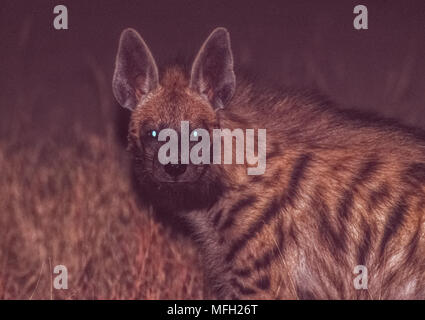 Indian Striped Hyena, (Hyaena hyaena), at night, Velavadar National Park, Gujarat, India - Stock Image