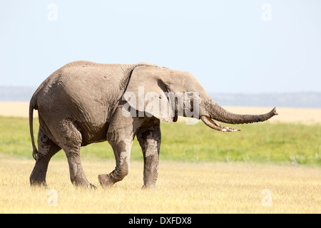 African Elephant (Loxodonta africana) Trunk outstretched - Stock Image