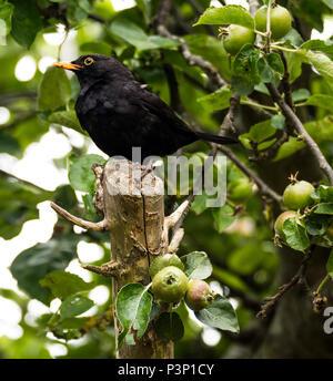 Blackbird (Turdus merula) in an apple tree - Stock Image