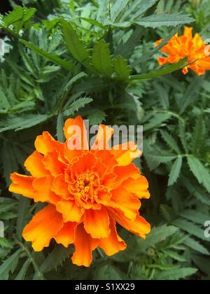 Orange Marigolds in garden bed - Stock Image