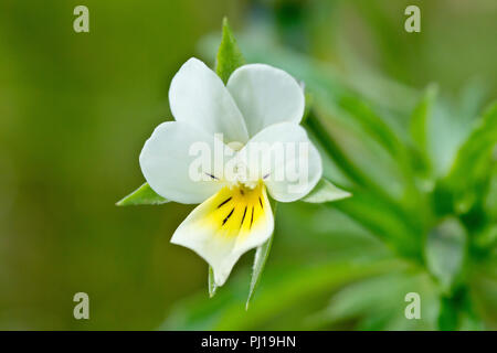 Field Pansy (viola arvensis), close up of the flower with its leaves in the background. - Stock Image
