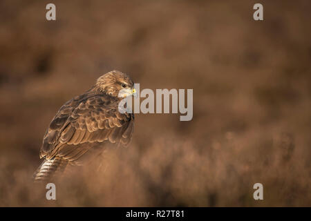 Common Buzzard ,Buteo buteo, perched on an autumnal moorland. - Stock Image