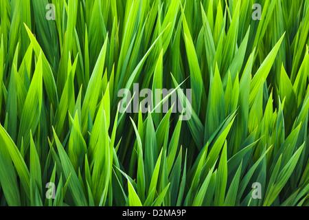 Iris leaves growing before bloom - Stock Image