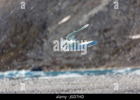 A glaucous gull arches its wings near the glacier at Magdalenefjorden in Spitzbergen - Stock Image