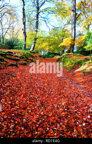 Looking down a forest pathway covered in golden autumn leaves leading to forest trees and a blue sky  fall, New Forest National Park, Hampshire,Englan - Stock Image