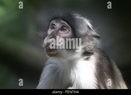 West African White-crowned mangabey (Cercocebus atys/ torquatus lunulatus) A.k.a. Sooty, White-naped or white-collared mangabey - Stock Image