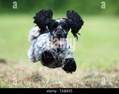 English Cocker Spaniel having fun off the lead , Warwickshire - Stock Image