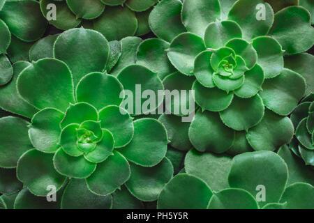 Aeonium Rosettes - Stock Image