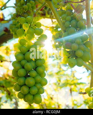 Big bunches of green grapes hanging down, growing on a grape vine, behind the grapes the sun is shining through the vine casting a light beam across t - Stock Image