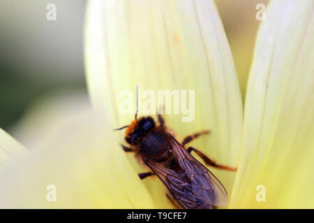 Close Up Shot Of A Honey Bee Pollinating On Yellow Flower - Stock Image