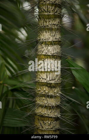 Stalk of Tropical Plant with Sharp Slender Thorns - Stock Image