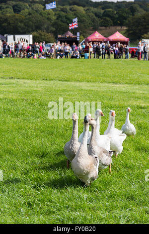 Visitors to the Lancashire Game and Country Festival 2015 watch a gaggle of geese in a demonstration of sheepdog - Stock Image