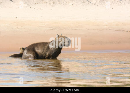 Wild, adult female Capybara, Hydrochaeris hydrochaeris, with her pup in a river in the Pantanal, Brazil, South America - Stock Image