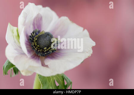 a single white anemone flower with purple center on mauve still life - fragile beauty in the language of flowers - Stock Image