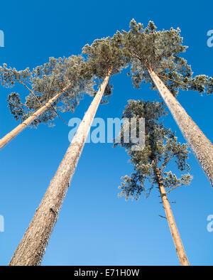 Frosty pine ( pinus sylvestris ) trees at Winter , Finland - Stock Image