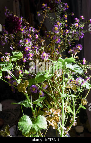 Bunch of geranium flowers in natural sunlit lit by light from a cottage window in a domestic setting - Stock Image