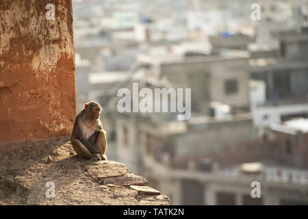 Portrait of a young macaque monkey sitting on a wall enjoying the sunset. Jaipur city in the background. Galta Ji, Monkey Temple, Jaipur, Rajasthan. - Stock Image