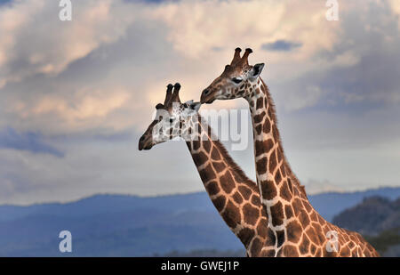 Two giraffes with clouds in background. Kenya, Africa. - Stock Image