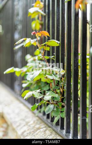 Rose growing through iron railings - Stock Image