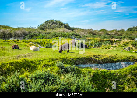 Brown,black and white sheep, lambs and rams eat the meadow grass on the Normandy coast of France at Pointe du Hoc - Stock Image