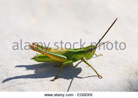 Small Gold Grasshopper - Euthystira brachyptera - Stock Image