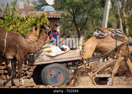 Camels and camel-drawn carts are a common site on the roads of Rajasthan, India. - Stock Image