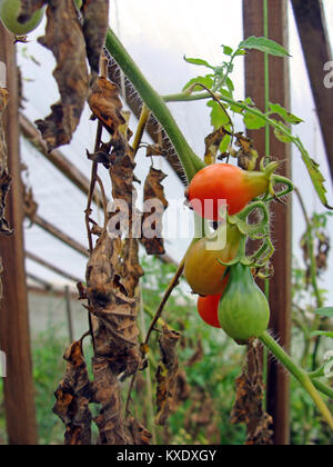 Tomatoes in greenhouse with dead brown leaves damaged by phytophthora close up - Stock Image