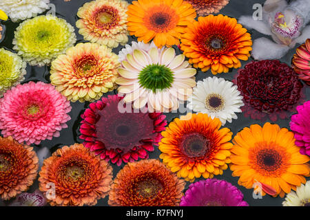 Swimming flowers, Gerbera Daisy, fountain, Zurich, Switzerland - Stock Image