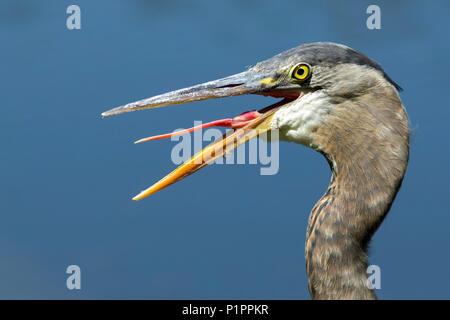 Great Blue Heron (Ardea herodias) sticks out tongue; Ashland, Oregon, United States of America - Stock Image