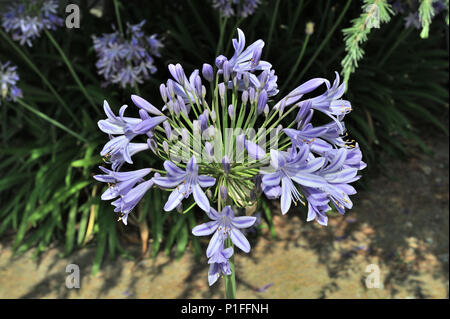 Agapanthus africanus, African Lily, Lily of the Nile, Laguna Hills, CA 080521_30478 - Stock Image